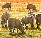 Schafschurwolle